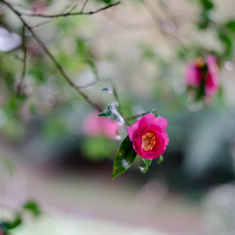 屋久島の山茶花、雨 屋久島花とジュエリー オーダーメイドマリッジリングのモチーフ