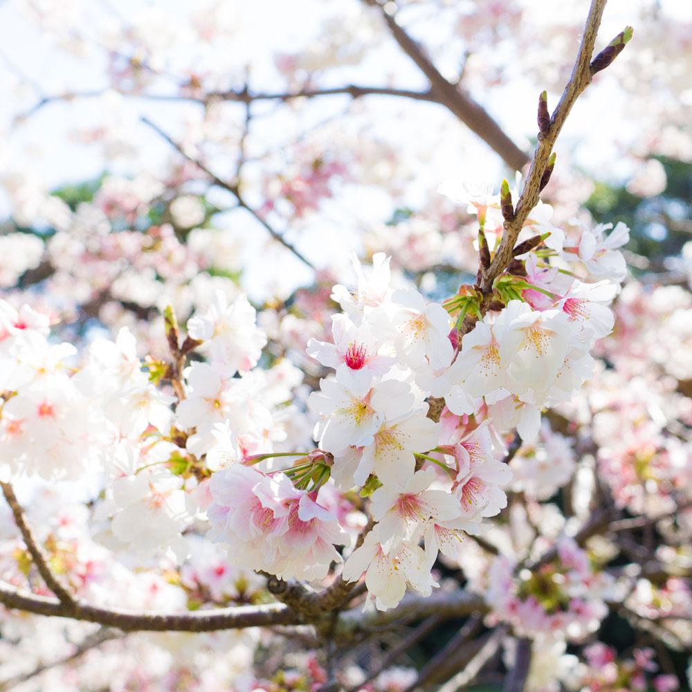 屋久島の桜 クローズアップ 屋久島花とジュエリー オーダーメイドジュエリーのモチーフ