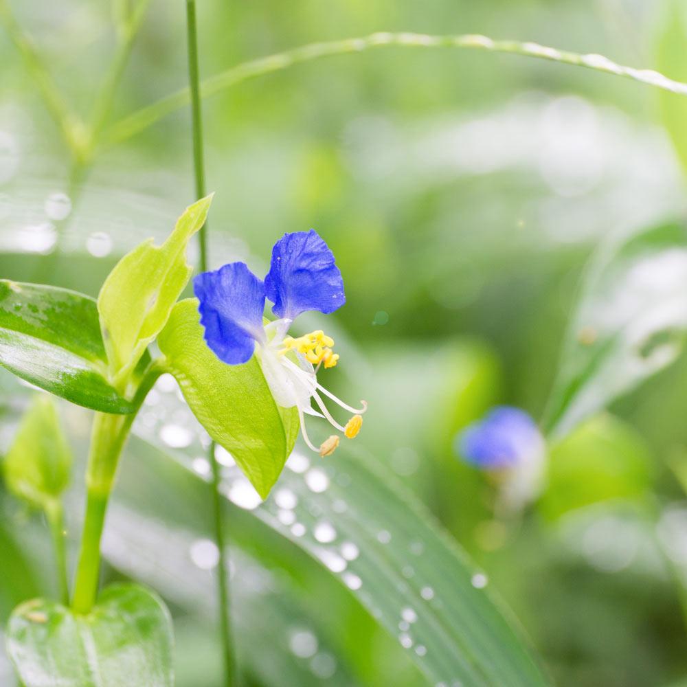屋久島のツユクサ 雨のしずく 屋久島花とジュエリー オーダーメイドジュエリーのモチーフ
