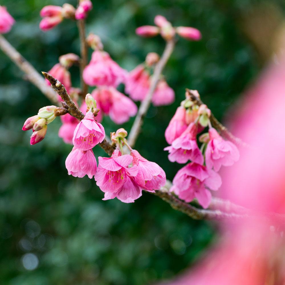 屋久島の桜 オーダーメイドジュエリーのモチーフ 屋久島花とジュエリーと