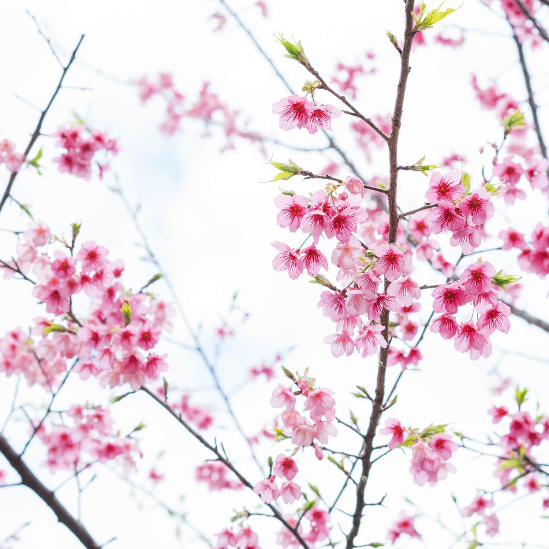 屋久島の緋寒桜 屋久島花とジュエリー オーダーメイドマリッジリングのインスピレーション