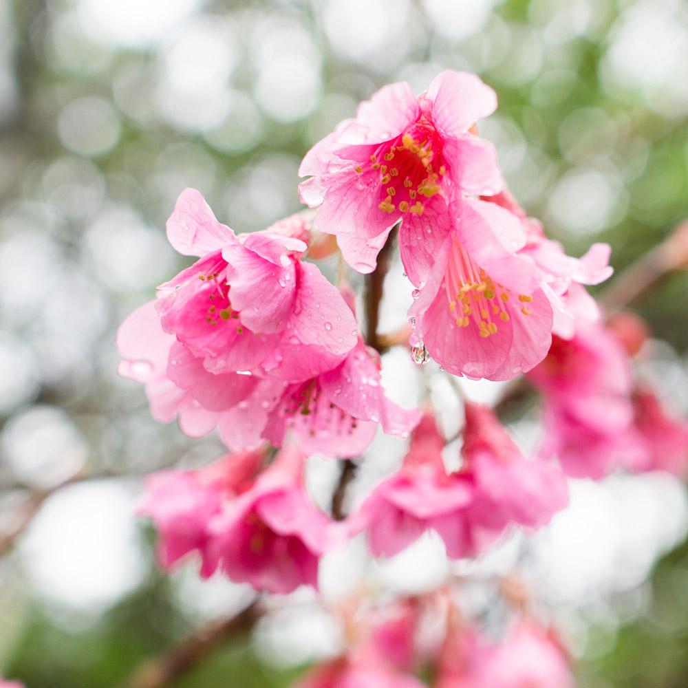 屋久島の桜 雨の雫 屋久島花とジュエリーと