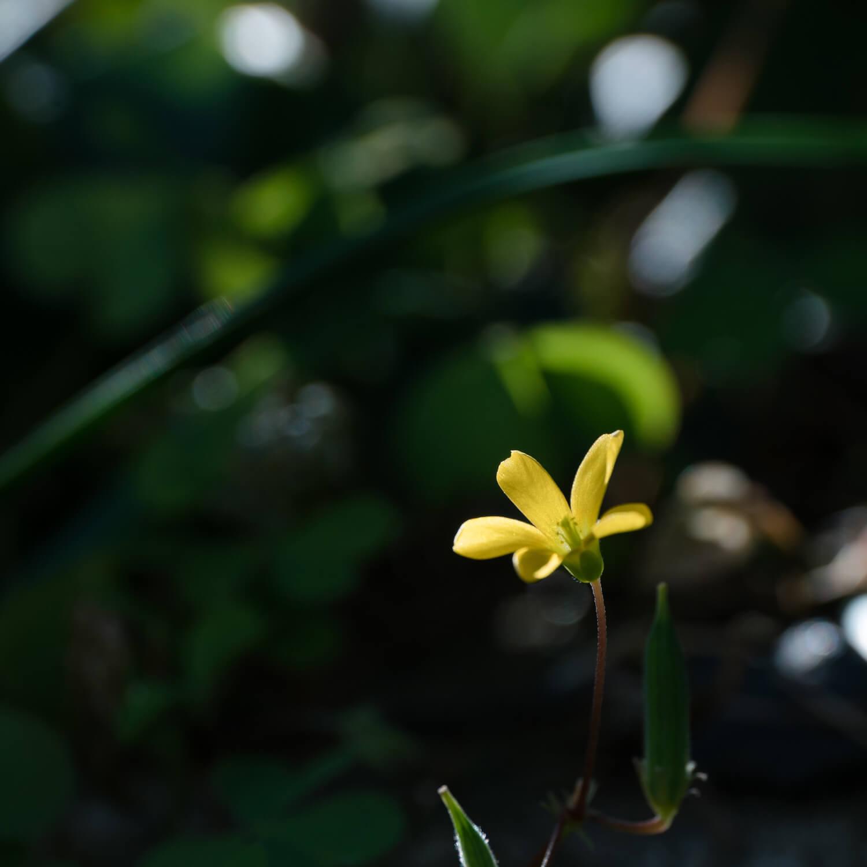 屋久島の小花 木漏れ日 屋久島花とジュエリー オーダーメイドマリッジリングのインスピレーション