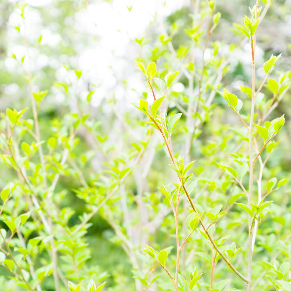 屋久島、新緑の葉 オーダーメイドジュエリーのモチーフ