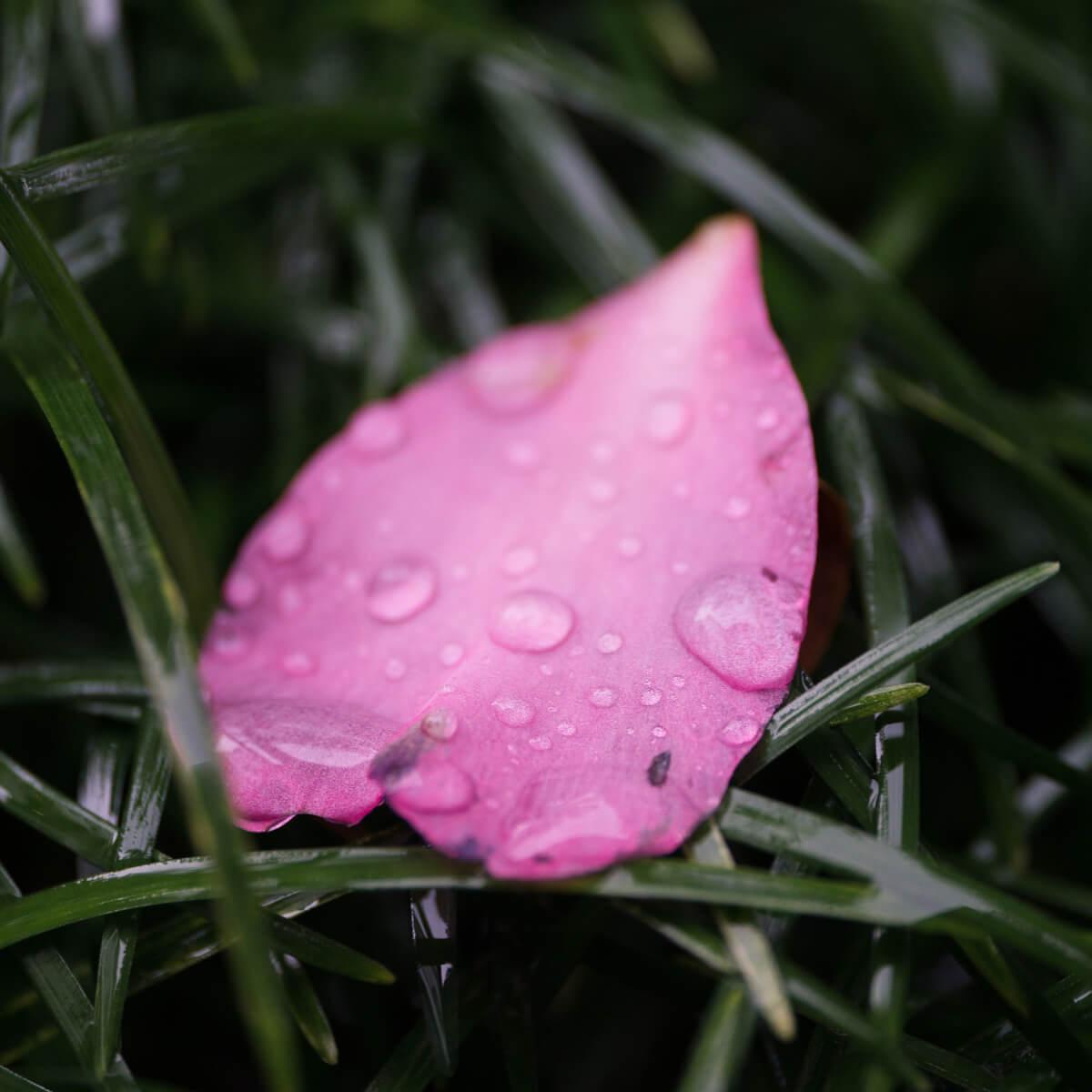 屋久島山茶花の花びら 雨のしずく 屋久島雨とジュエリー オーダーメイドジュエリーのインスピレーション