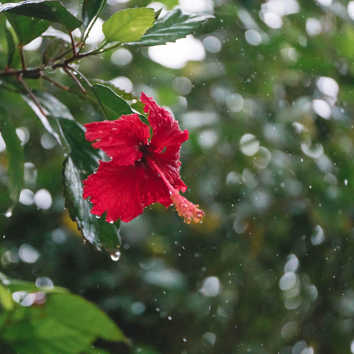 屋久島の雨、ハイビスカス 屋久島花とジュエリー オーダーメイドマリッジリングのモチーフ