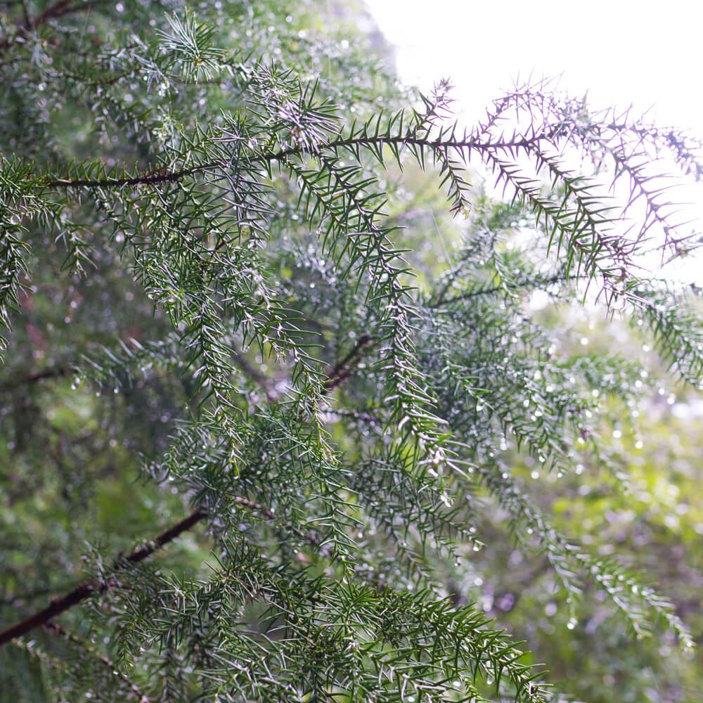 場面、森 屋久島雨の雫 屋久島の植物 オーダーメイドマリッジリングのモチーフ 屋久島でつくる結婚指輪