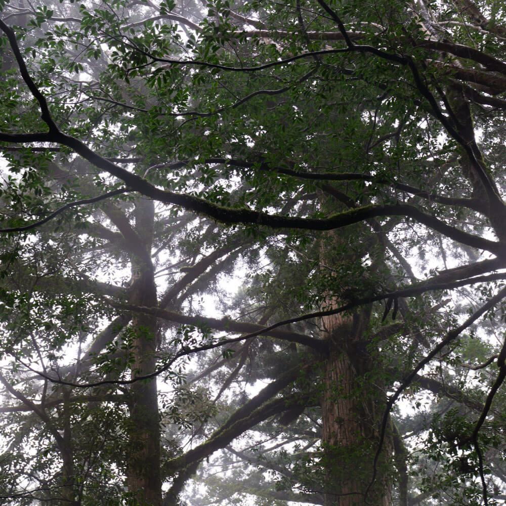屋久島の森 霧 巨木 光 屋久島日々の暮らしとジュエリー