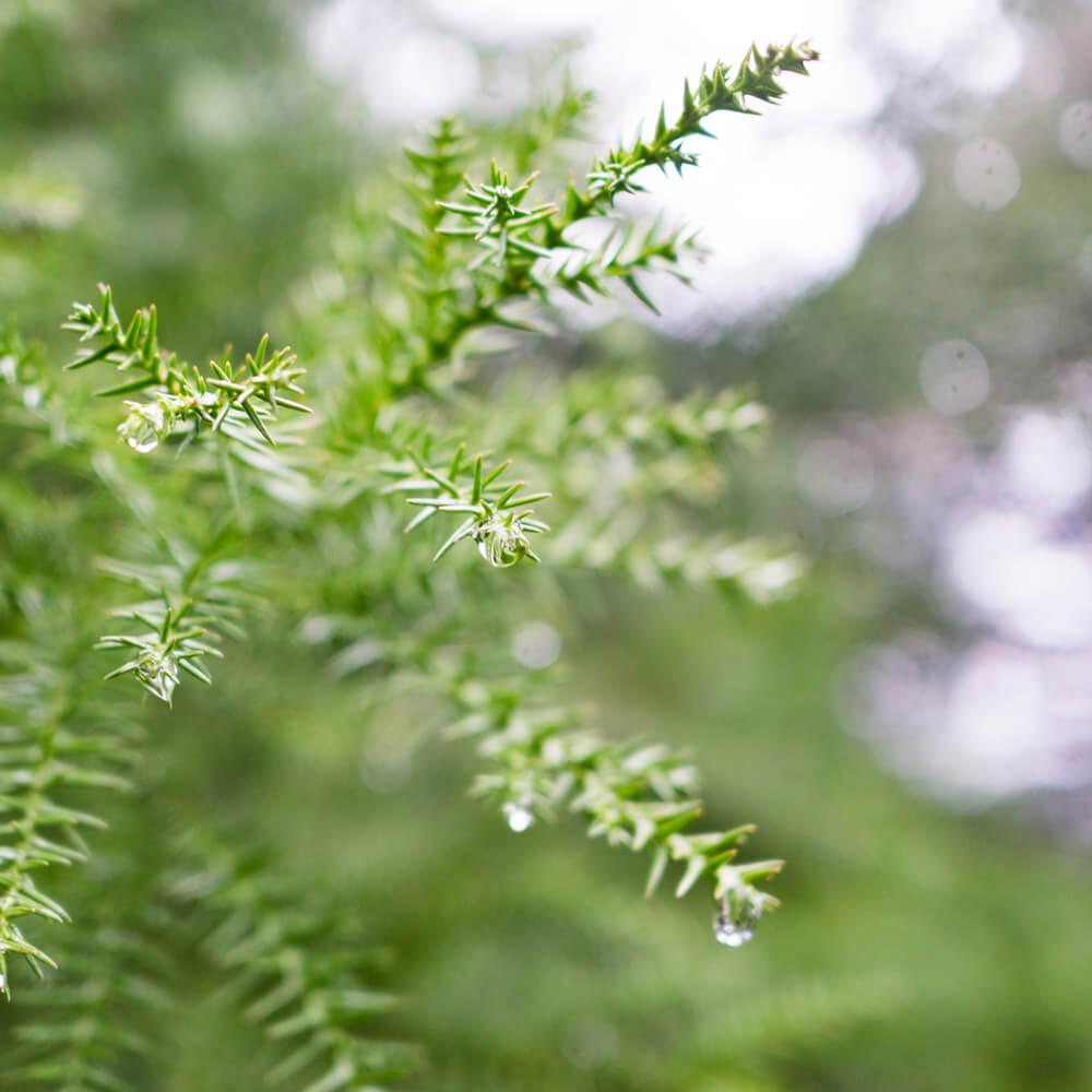 屋久島の森 雨の雫 杉 オーダーメイドジュエリーのモチーフ