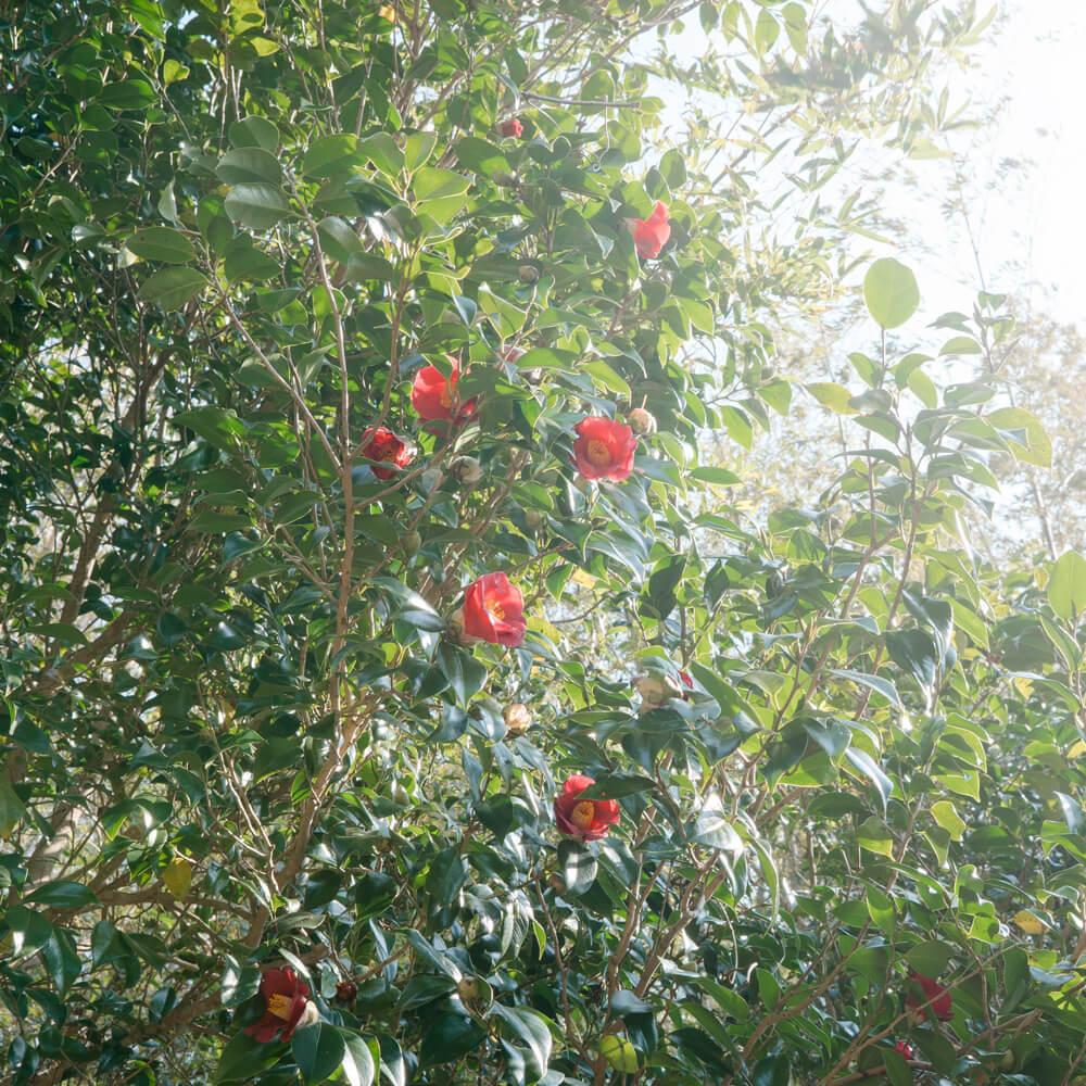 屋久島の椿 屋久島花とジュエリー オーダーメイドマリッジリングのインスピレーション