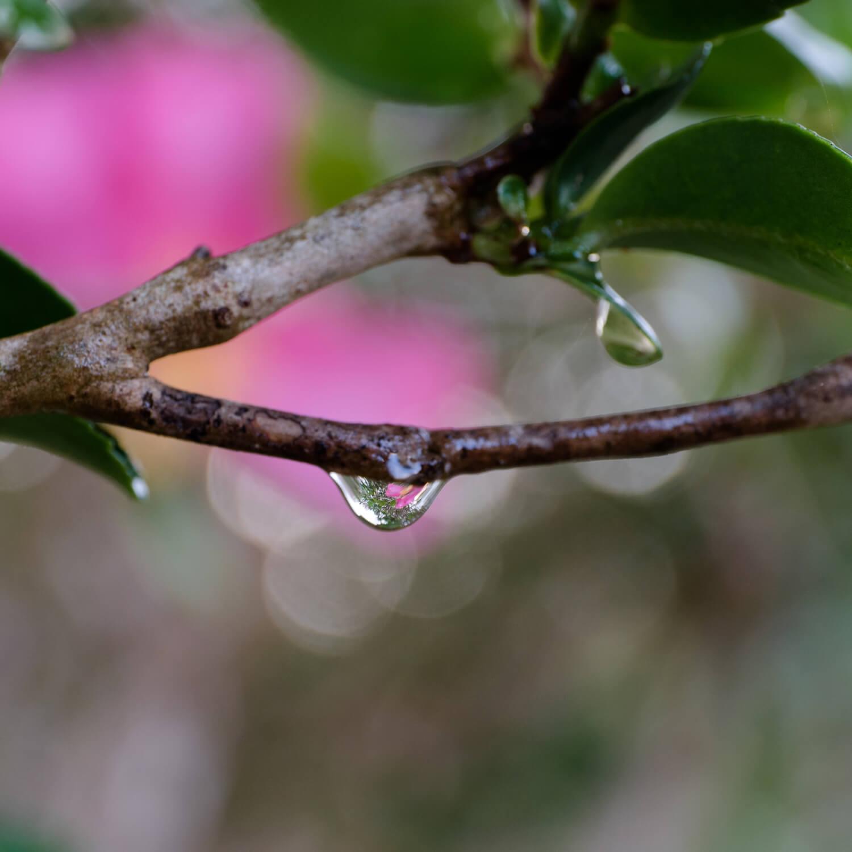 屋久島の山茶花、雨のしずく 屋久島花とジュエリー オーダーメイドマリッジリングのモチーフ