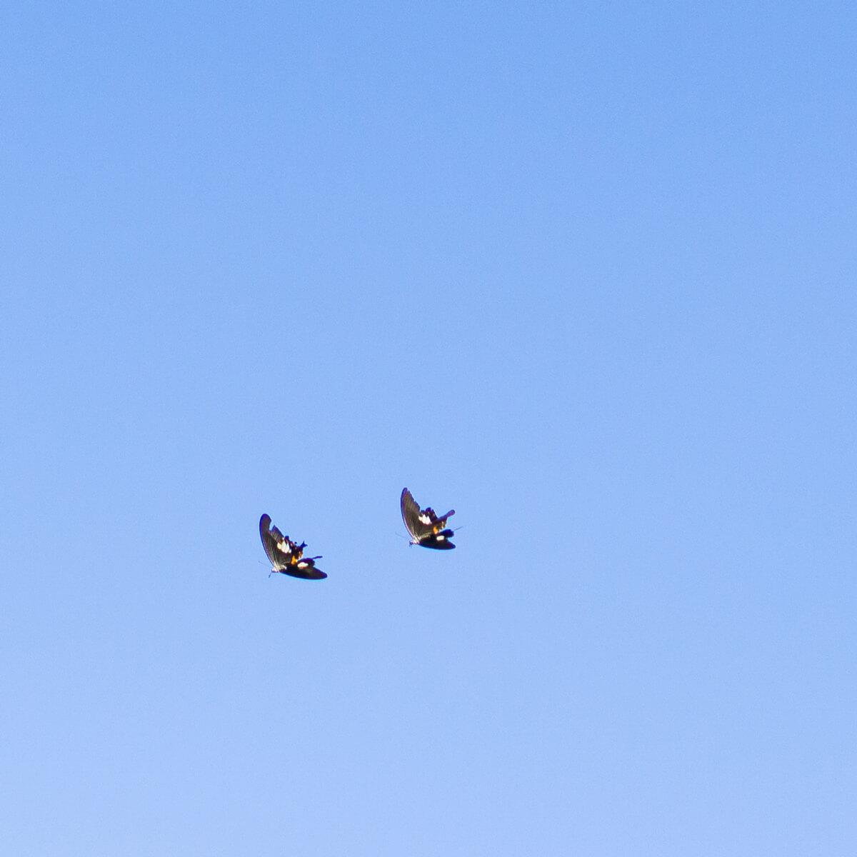 屋久島の空を舞う蝶 屋久島日々の暮らしとジュエリー オーダーメイドジュエリーのモチーフ