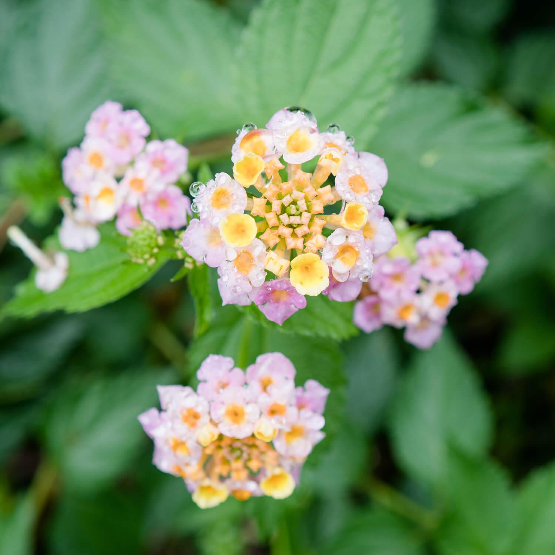 屋久島の花、雨のしずく 屋久島日々の暮らしとジュエリー 屋久島でオーダーメイドジュエリー