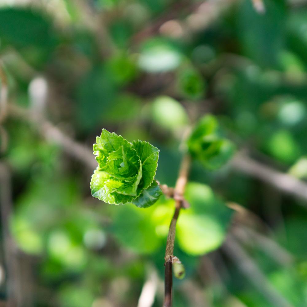 屋久島の紫陽花、葉っぱ 木漏れ日 オーダーメイドジュエリーのモチーフ