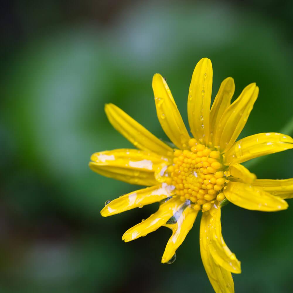 屋久島の花、雨の雫 屋久島でつくるジュエリーモチーフ