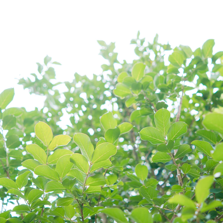 屋久島の植物 見あげる 屋久島日々の暮らしとジュエリー