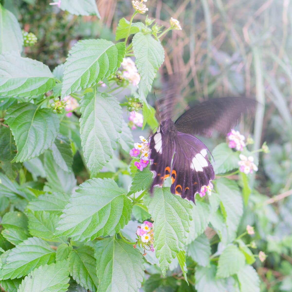 屋久島のチョウチョと花 屋久島日々の暮らしとジュエリー オーダーメイドマリッジリングのモチーフ