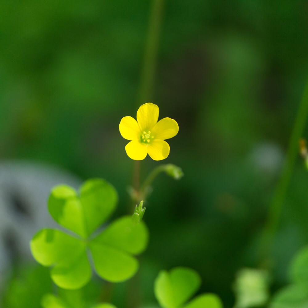 屋久島春の花 屋久島の緑の中 ハンドメイドジュエリーのモチーフ