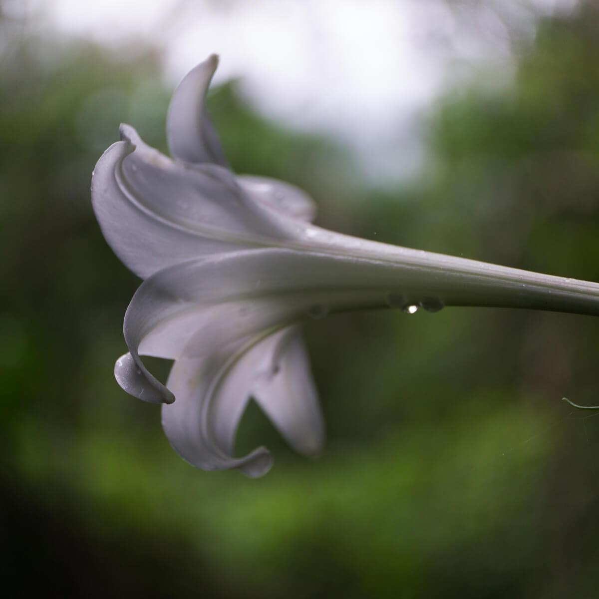 屋久島の百合 雨のしずく 屋久島花とジュエリー オーダーメイドジュエリーのモチーフ
