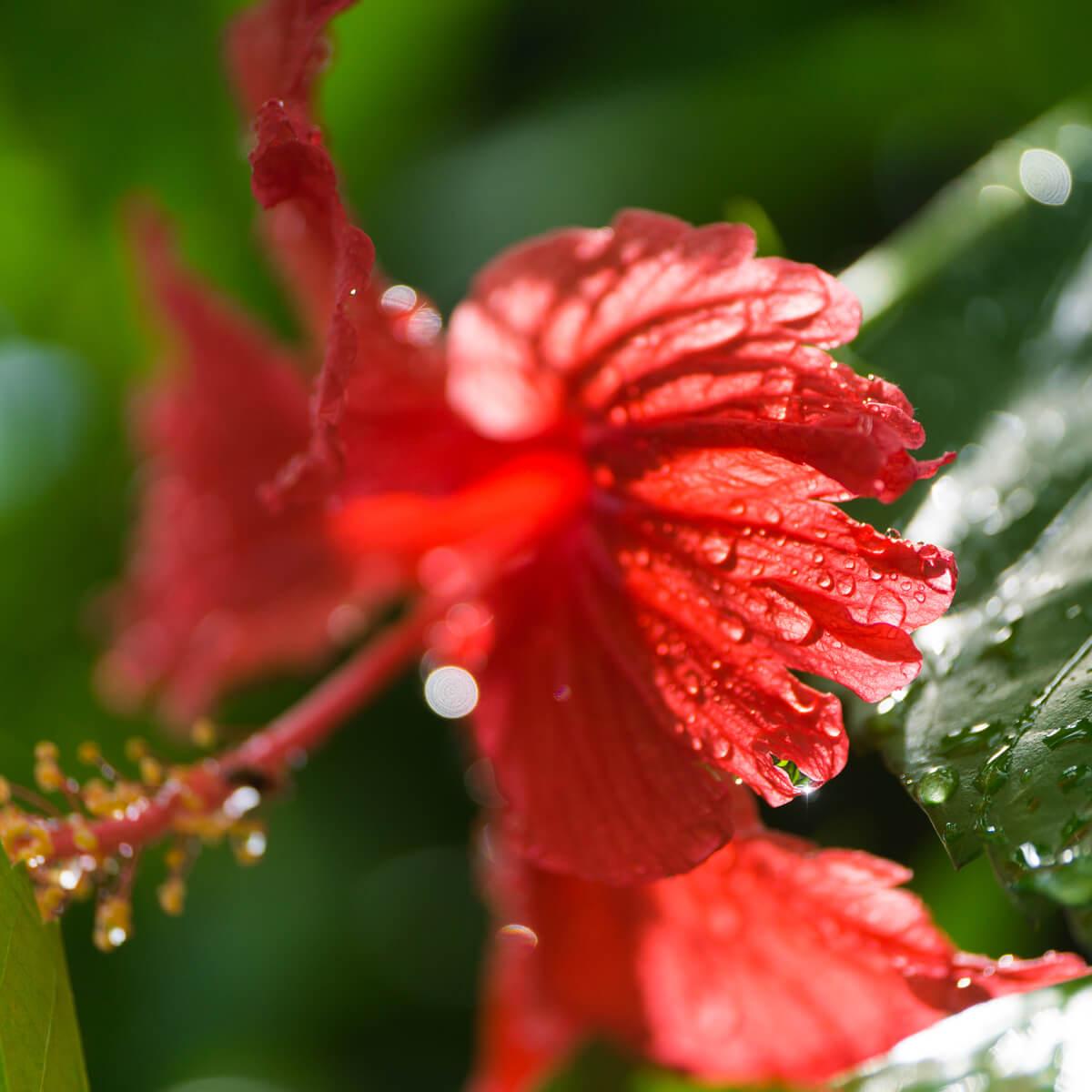 屋久島のハイビスカス 雨のしずく 屋久島花とジュエリー オーダーメイドマリッジリングのモチーフ