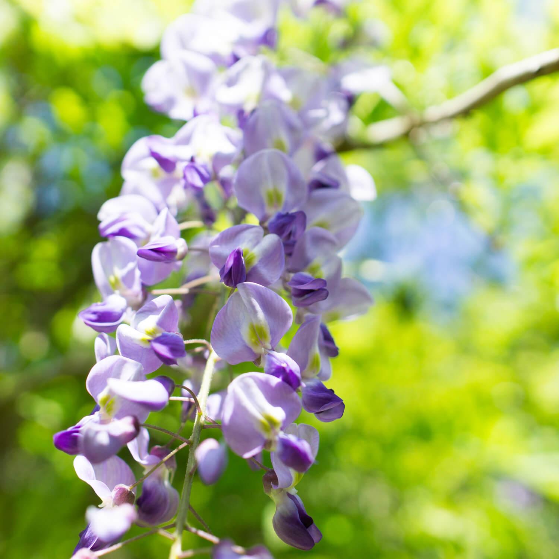 藤の花 見上げる構図 木漏れ日 屋久島日々の暮らしとジュエリー