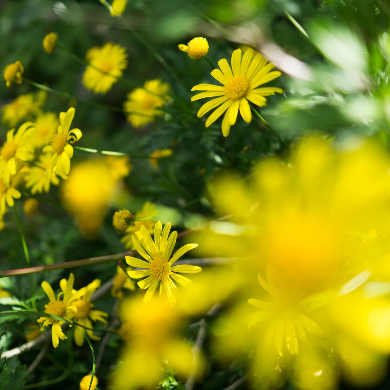 屋久島の黄色い花 屋久島花とジュエリー オーダーメイドマリッジリングのモチーフ
