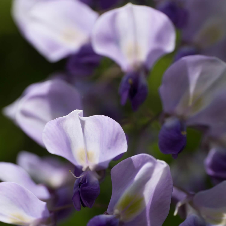屋久島の藤の花 クローズアップ 屋久島花とジュエリー オーダーメイドマリッジリングのモチーフ