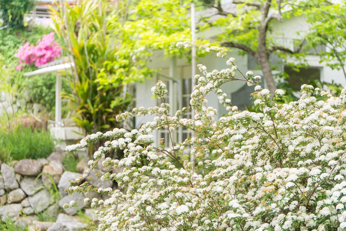 屋久島のコデマリ 奥に見える、屋久島しずくギャラリー 屋久島花とジュエリーと
