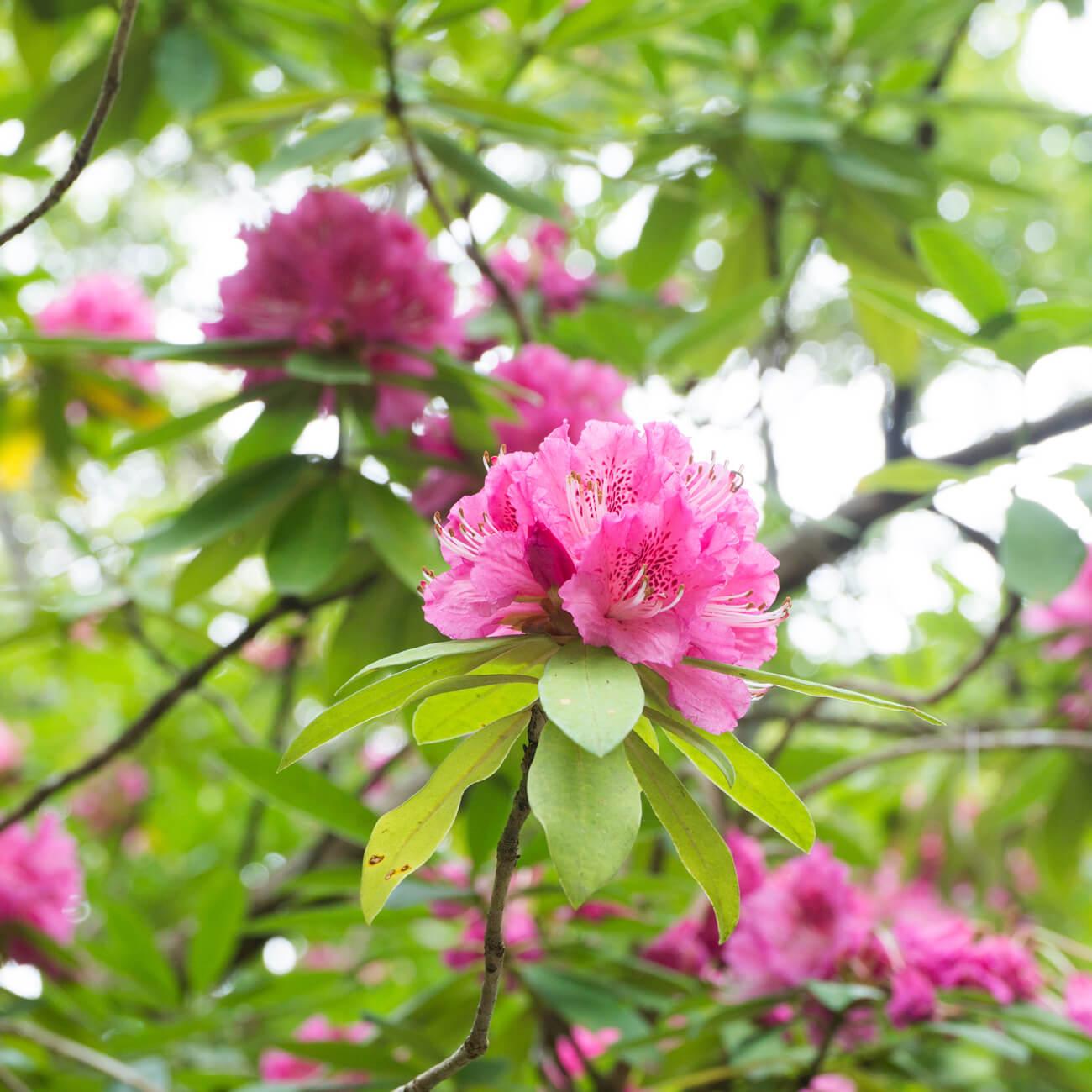 屋久島のシャクナゲ 木漏れ日 屋久島花とジュエリー オーダーメイドマリッジリングのモチーフ