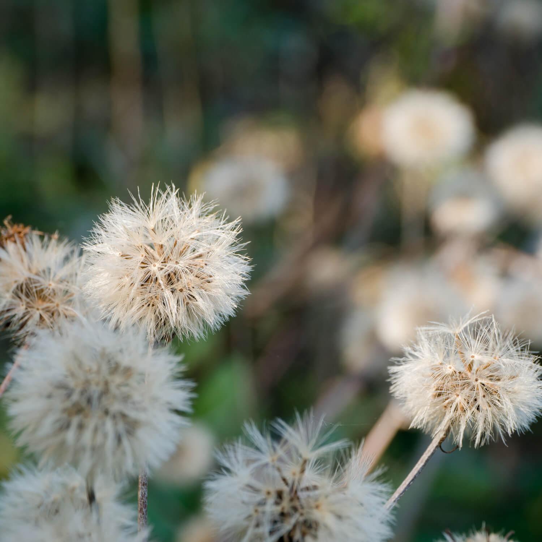屋久島ツワブキの種 屋久島花とジュエリー オーダーメイドマリッジリングのインスピレーション