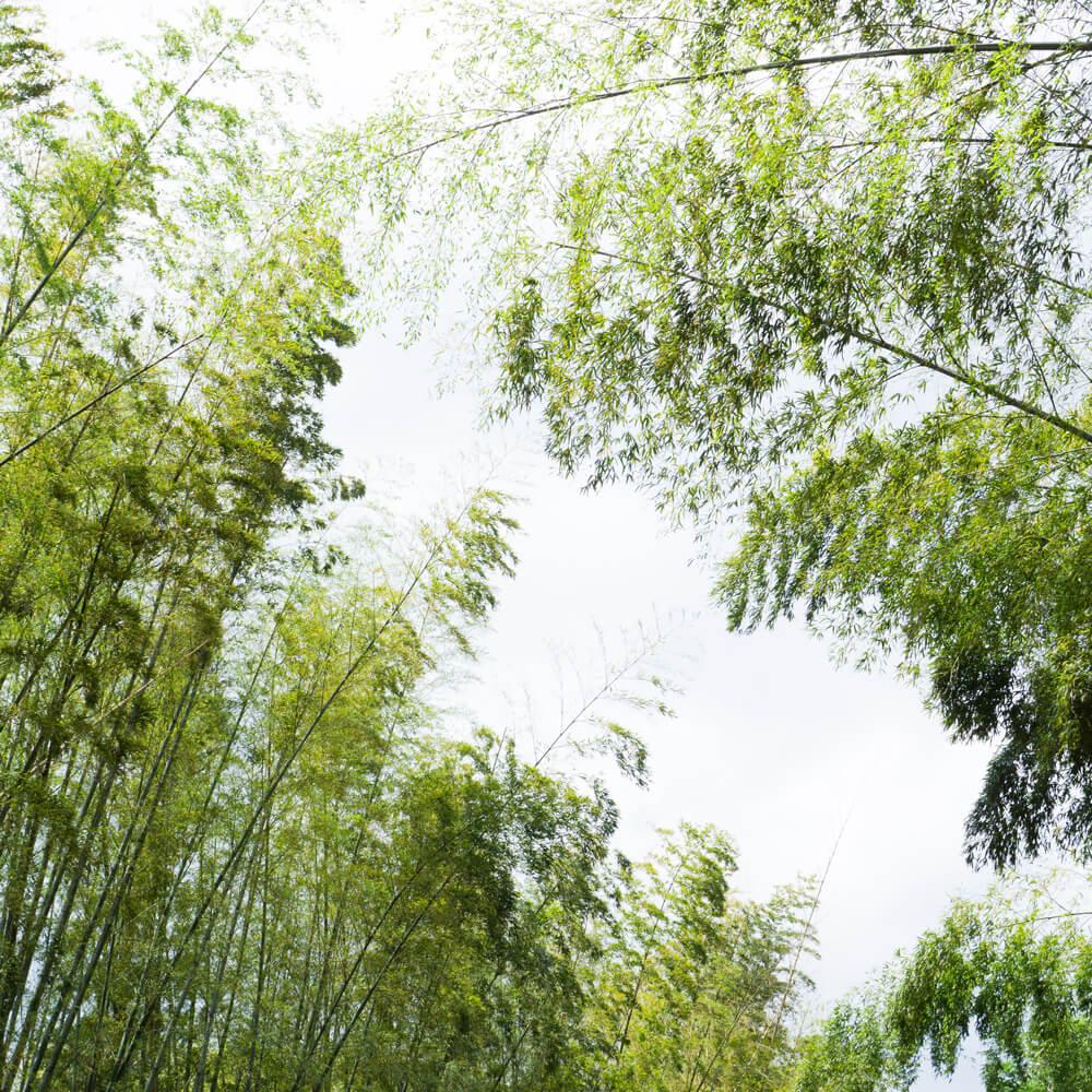 屋久島の竹林 見上げる構図 屋久島日々の暮らしとジュエリー
