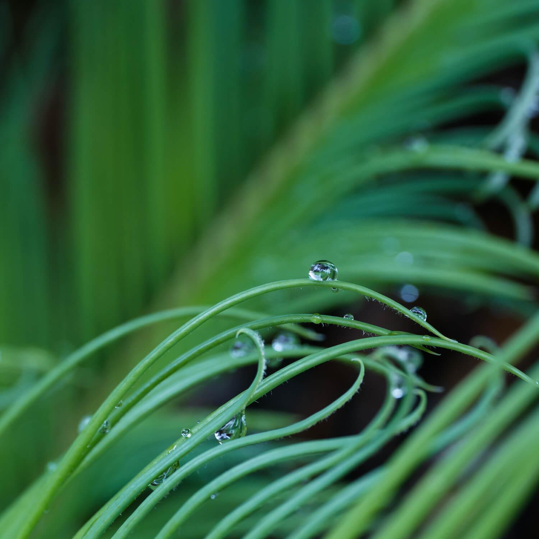 屋久島雨のしずく 屋久島雨とジュエリー オーダーメイドマリッジリングのモチーフ 屋久島でつくる結婚指輪