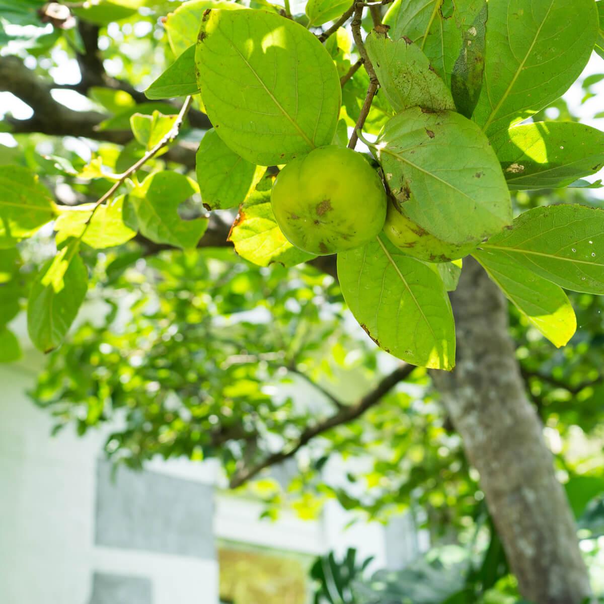 秋の気配?屋久島の柿。しずくギャラリーで結婚指輪の相談会。エメラルドは森の色
