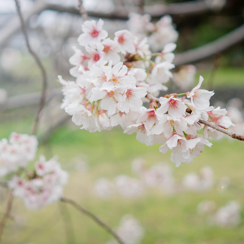屋久島の桜 屋久島花とジュエリー オーダーメイドマリッジリングのインスピレーション