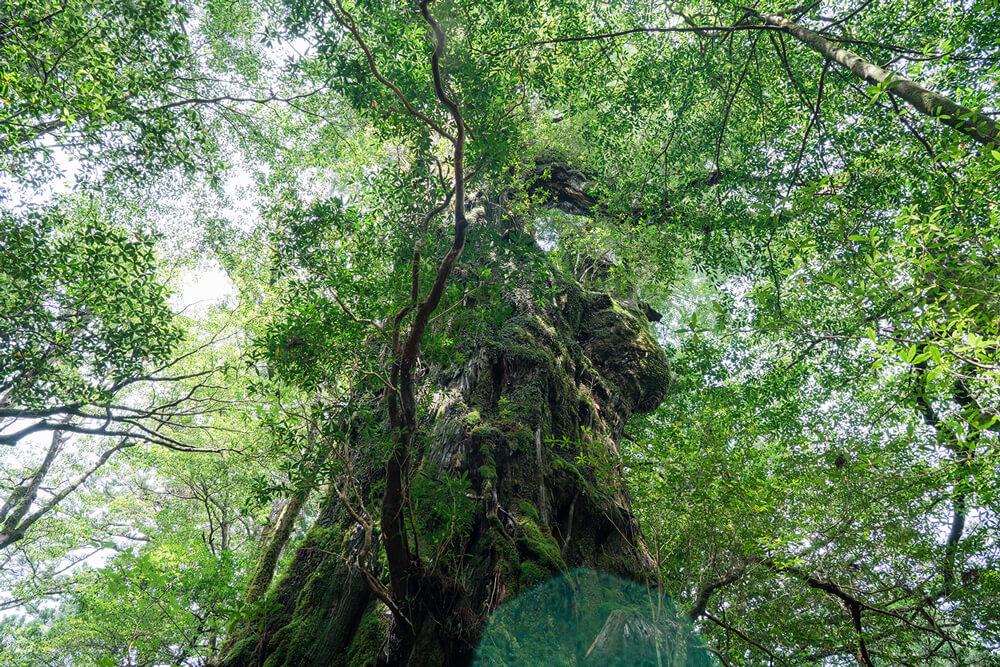 噂を頼りに樹齢3000年級の屋久杉の森を歩いて歩いて  1本の巨木に出会った。