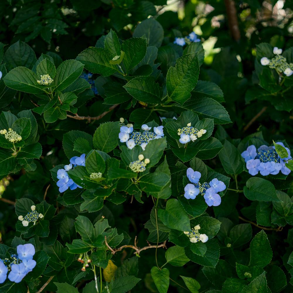 屋久島の紫陽花 屋久島花とジュエリー オーダーメイドマリッジリングのインスピレーション