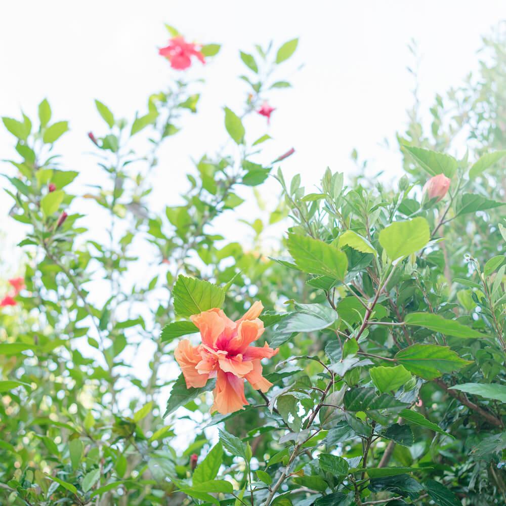 屋久島のハイビスカス 屋久島花とジュエリー オーダーメイドマリッジリングのインスピレーション