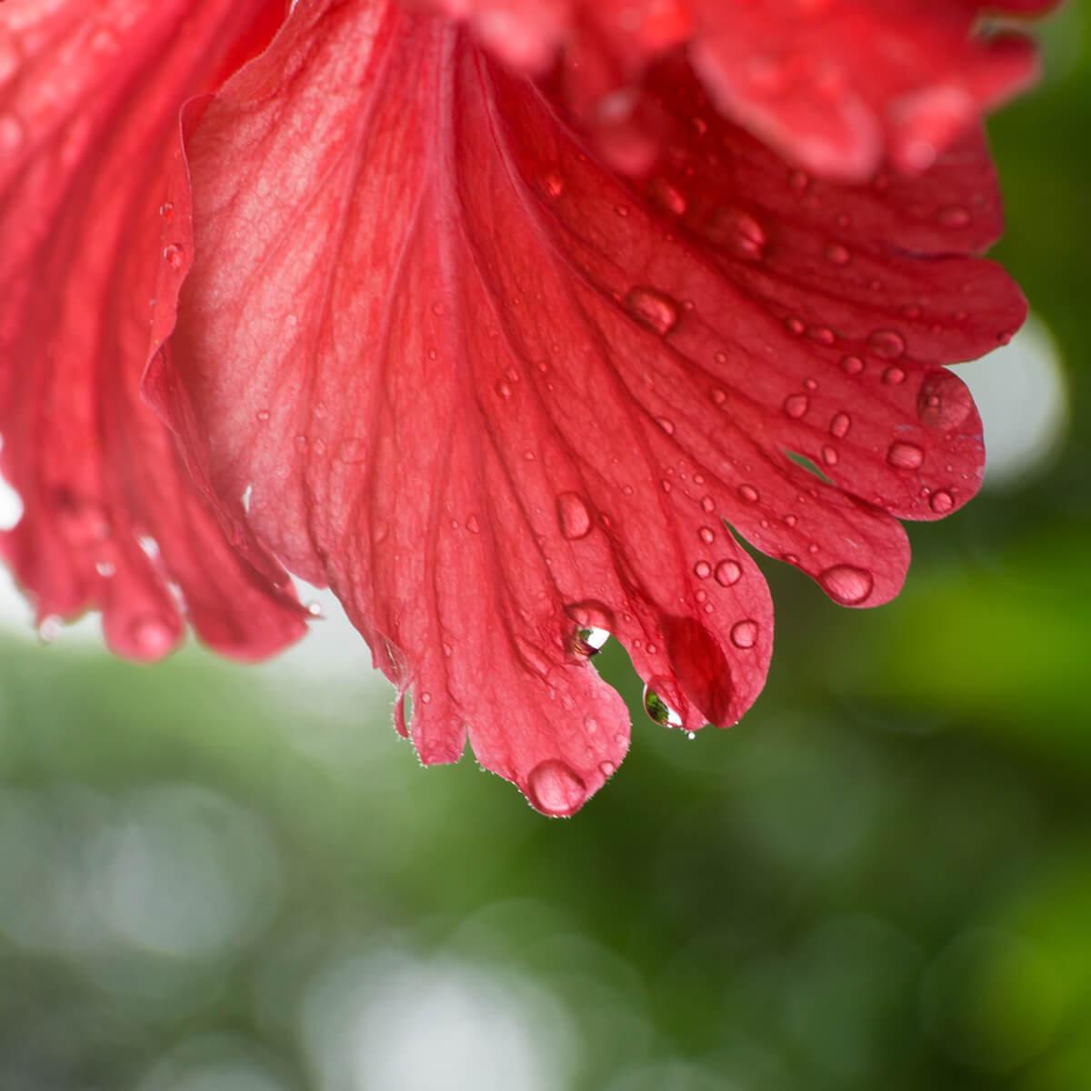 屋久島のハイビスカスと雨のしずく 屋久島花とジュエリー オーダーメイドジュエリーのモチーフ