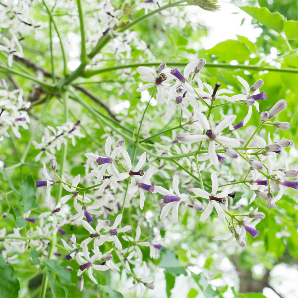 屋久島 栴檀の花 屋久島花とジュエリー オーダーメイドマリッジリングのモチーフ