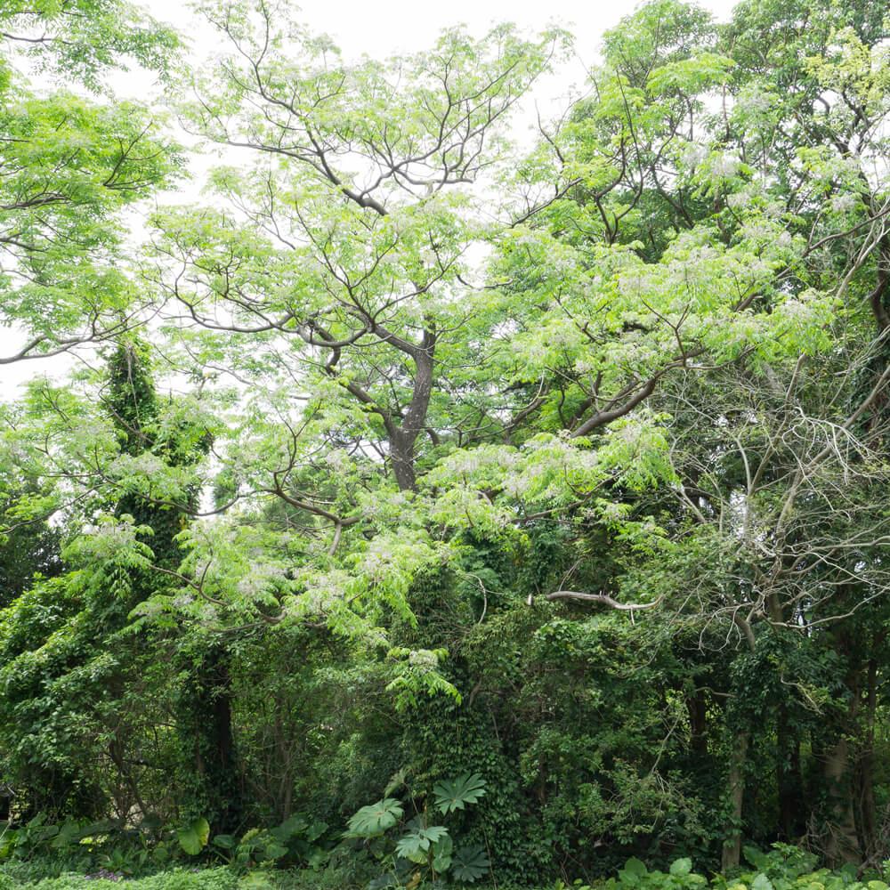 屋久島 大きな栴檀の木 屋久島日々の暮らしとジュエリー オーダーメイドジュエリーのモチーフ