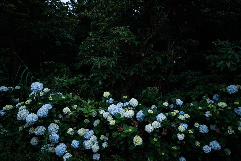 屋久島のアジサイ 屋久島花とジュエリー オーダーメイドマリッジリングのインスピレーション 屋久島でつくる結婚指輪