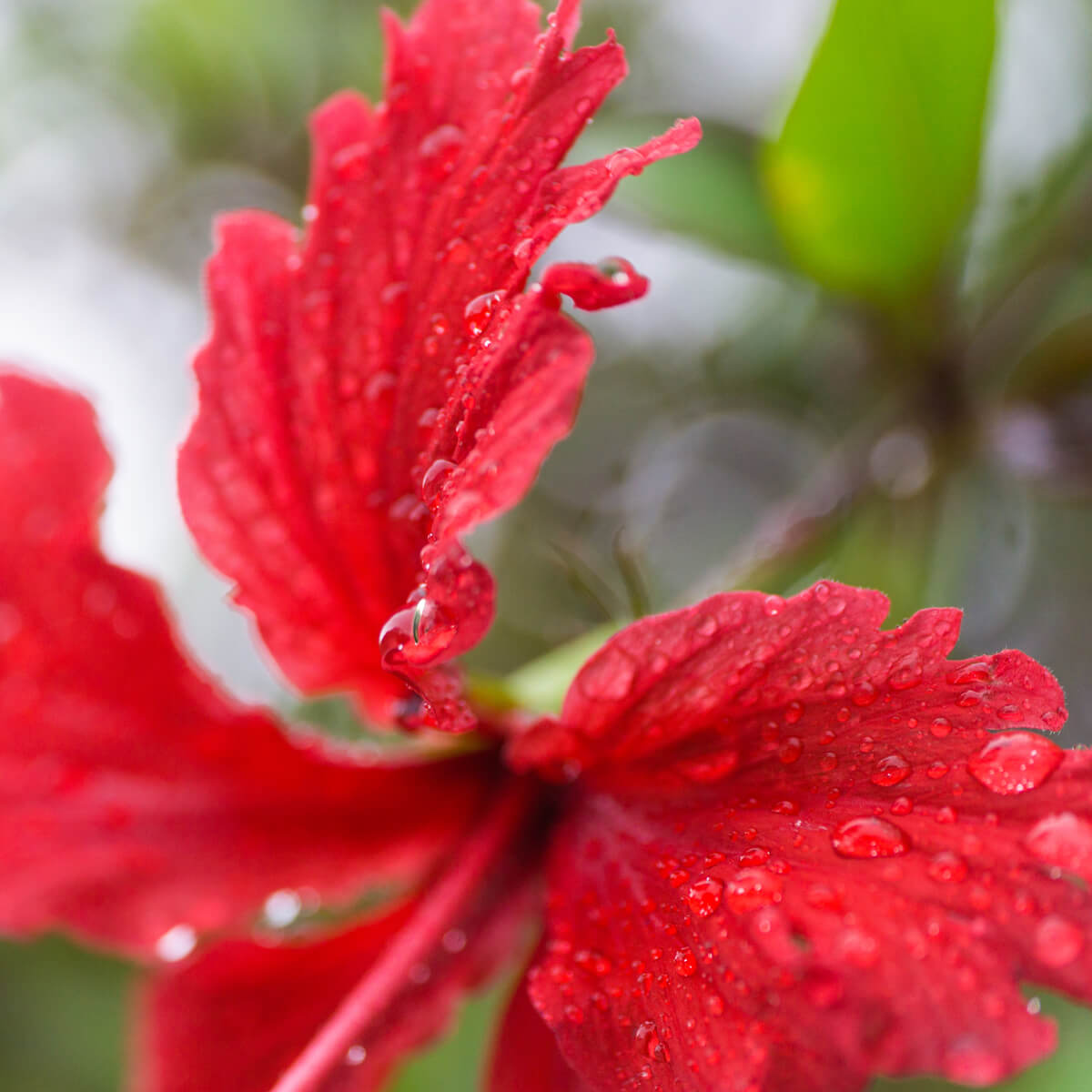 屋久島のハイビスカス、雨の雫 屋久島花ジュエリー オーダーメイドジュエリーのモチーフ