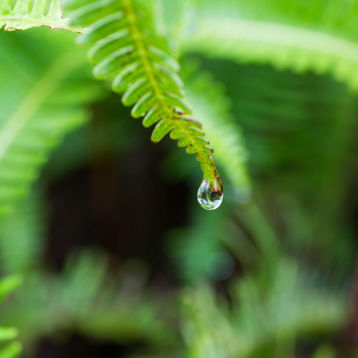 屋久島のシダ、雨のしずく 屋久島雨とジュエリー オーダーメイドエンゲージリングのモチーフ