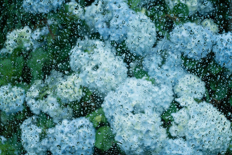 雨とアジサイ 屋久島の花 屋久島花とジュエリー 風 オーダーメイドマリッジリングのインスピレーション