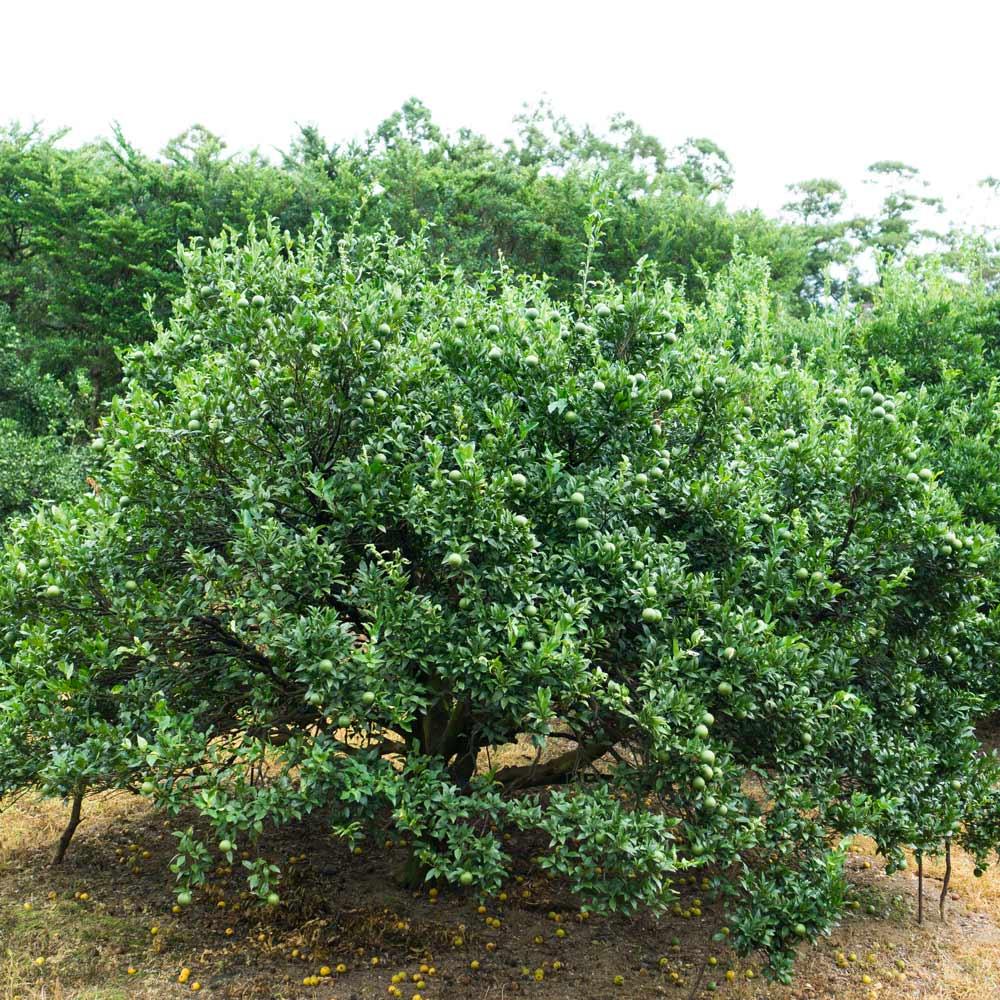 屋久島タンカンの樹 たくさんの青い実