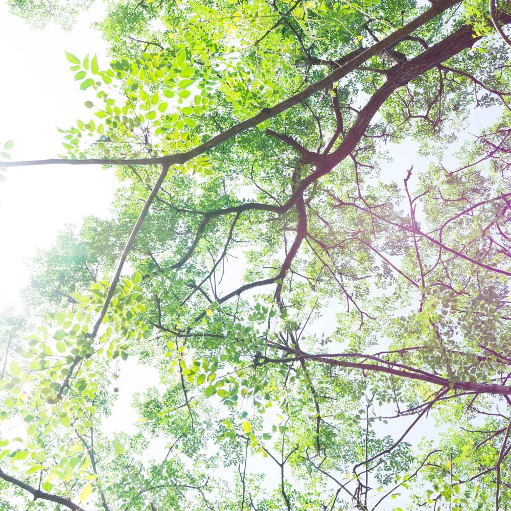 屋久島の木々を見上げる 太陽の光