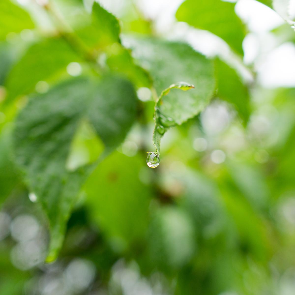 屋久島雨のしずく 木漏れ日 屋久島雨とジュエリー オーダーメイドマリッジリングのモチーフ
