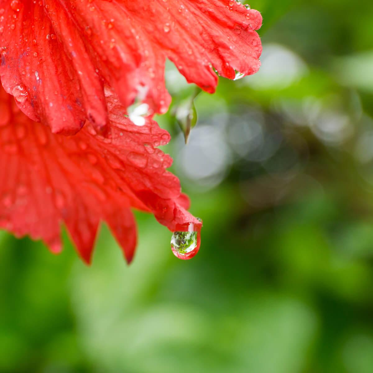 屋久島のハイビスカス、雨のしずく 屋久島雨とジュエリー オーダーメイドジュエリーのモチーフ