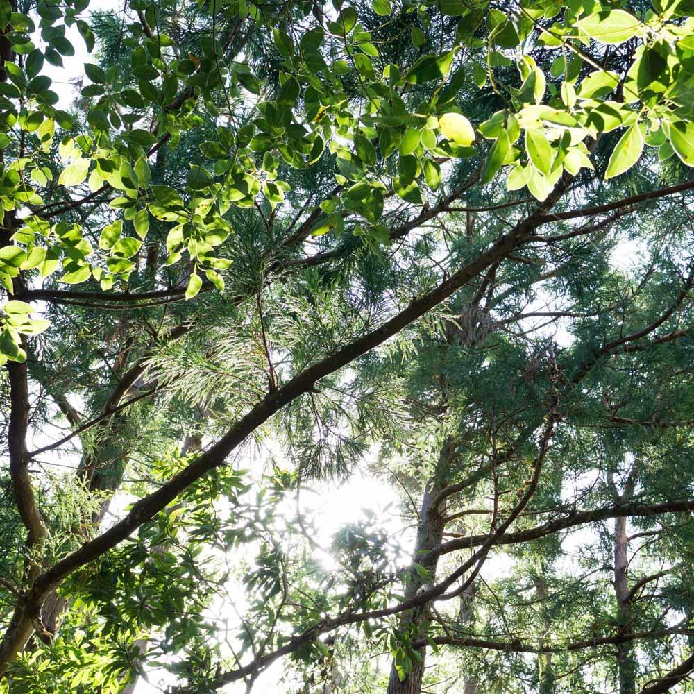 屋久島の森 木漏れ日見上げる構図