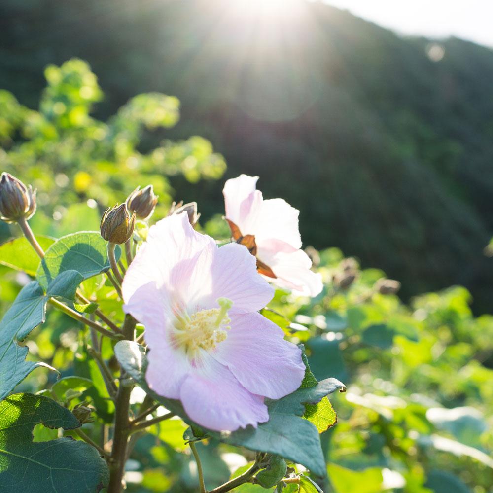 屋久島の花 朝日